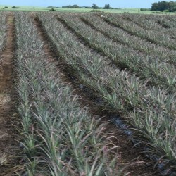 Victoria Pineapple Cutting Alignment