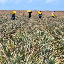 Picking Victoria Pineapple